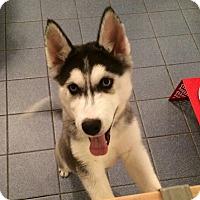 Adopt A Pet :: Amber - Grafton, MA