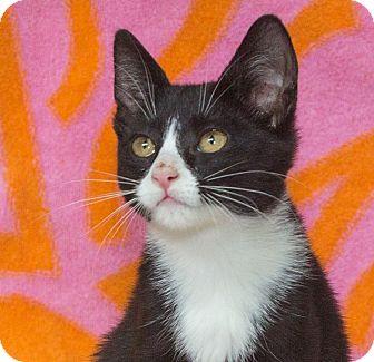 Domestic Shorthair Kitten for adoption in Elmwood Park, New Jersey - Johny
