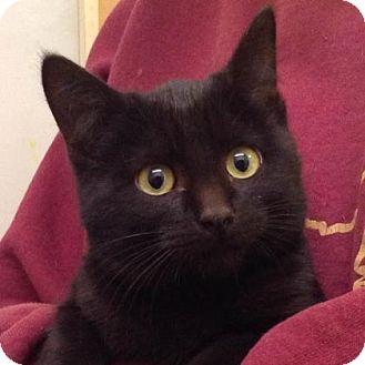 Domestic Shorthair Kitten for adoption in Brimfield, Massachusetts - Tofu