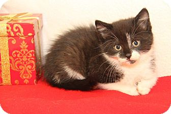 Domestic Shorthair Kitten for adoption in Orland Park, Illinois - Santa Paws