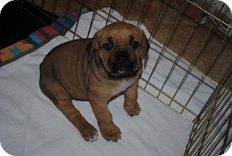 Mastiff Mix Puppy for adoption in Rockville, Maryland - Fern