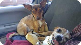 Chihuahua/Corgi Mix Dog for adoption in West Warwick, Rhode Island - Delia and Rosalee