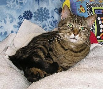 Domestic Shorthair Cat for adoption in Eldora, Iowa - Trouble