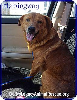 Golden Retriever/Irish Setter Mix Dog for adoption in Lincoln, Nebraska - HEMINGWAY