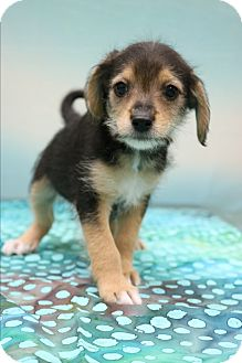 Yorkie, Yorkshire Terrier/Beagle Mix Puppy for adoption in Hagerstown, Maryland - Asher