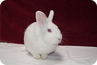 Lionhead Mix for adoption in Montclair, California - Snowdrop