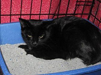 Domestic Shorthair Cat for adoption in Logan, Utah - Marvin