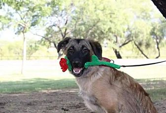 Leonberger Mix Dog for adoption in Tucson, Arizona - Becca / Courtesy Posting