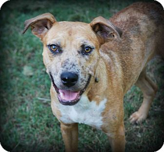 Catahoula Leopard Dog/Australian Cattle Dog Mix Dog for adoption in Cleveland, Oklahoma - Chevelle