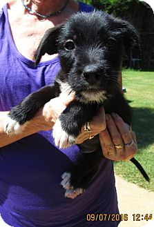 Wirehaired Pointing Griffon/Labrador Retriever Mix Puppy for adoption in Oswego, New York - FREDDIE
