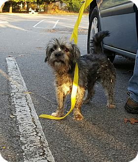 Terrier (Unknown Type, Small) Mix Dog for adoption in Loudonville, New York - Kupkakes