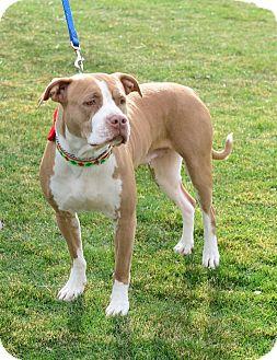 Pit Bull Terrier Mix Dog for adoption in Gardnerville, Nevada - Scarlett