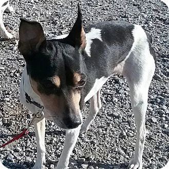 Rat Terrier/Jack Russell Terrier Mix Dog for adoption in Macomb, Illinois - Joetta