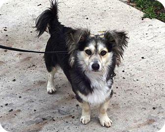 Pomeranian/Corgi Mix Dog for adoption in Lathrop, California - Bear