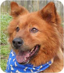 Chow Chow Mix Dog for adoption in Cincinnati, Ohio - Marley