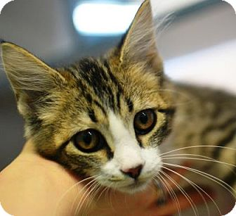 Domestic Shorthair Kitten for adoption in New Orleans, Louisiana - Cranberry