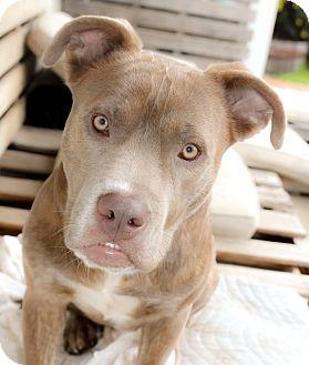 Labrador Retriever/Chesapeake Bay Retriever Mix Dog for adoption in Nashville, Tennessee - Alfalfa