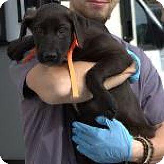 Pointer/Boxer Mix Puppy for adoption in Janesville, Wisconsin - Enya