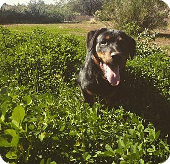 Rottweiler Dog for adoption in Gilbert, Arizona - Pocco