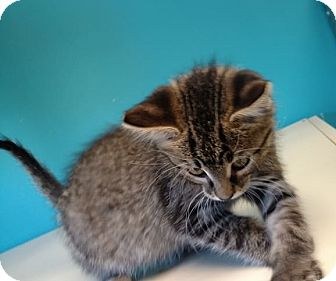 Domestic Shorthair Kitten for adoption in Brookings, South Dakota - Muenster