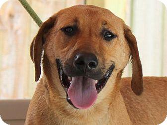 Labrador Retriever/Hound (Unknown Type) Mix Puppy for adoption in Locust Fork, Alabama - Roxie Moxie