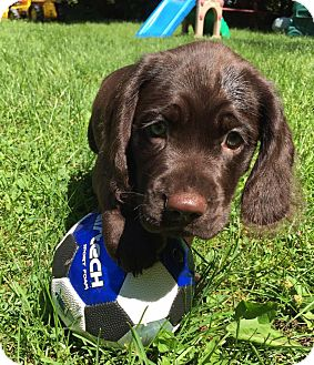 Terrier (Unknown Type, Medium)/Labrador Retriever Mix Puppy for adoption in Fort Atkinson, Wisconsin - Boz