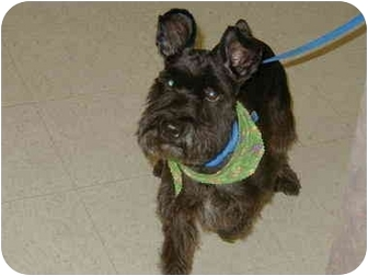 Schnauzer (Standard) Dog for adoption in Cincinnati, Ohio - Zach