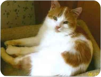 Domestic Shorthair Cat for adoption in Sheboygan, Wisconsin - Walter