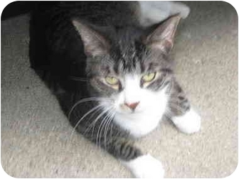 Domestic Shorthair Cat for adoption in Troy, Michigan - Cricket