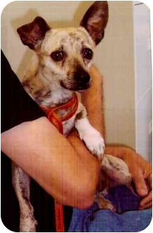 Chihuahua Mix Dog for adoption in Old Bridge, New Jersey - Baxter