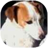 Jack Russell Terrier Mix Dog for adoption in Eagle, Colorado - Janey
