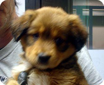 German Shepherd Dog/Australian Shepherd Mix Puppy for adoption in Manassas, Virginia - Ewok