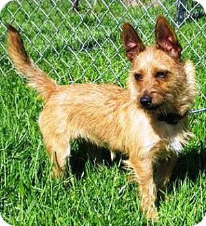 Terrier (Unknown Type, Small)/Yorkie, Yorkshire Terrier Mix Dog for adoption in Oswego, Illinois - Taffy