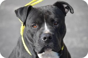Pit Bull Terrier Mix Dog for adoption in Crown Point, Indiana - Sheriff