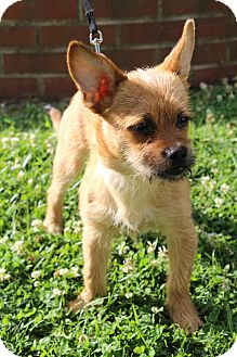 Brussels Griffon/Chihuahua Mix Dog for adoption in Hagerstown, Maryland - Jagger