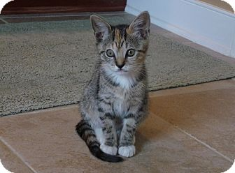 Calico Kitten for adoption in Richmond, Virginia - Blossom, Buttercup, and Bubble