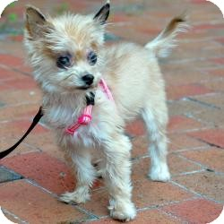 Yorkie, Yorkshire Terrier Dog for adoption in Tallahassee, Florida - Ruby