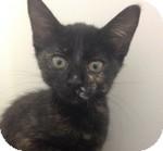 Domestic Shorthair Kitten for adoption in Wheaton, Illinois - Anna