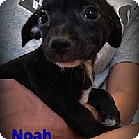Adopt A Pet :: Noah - Silsbee, TX