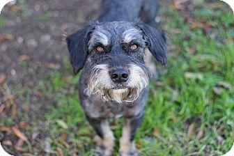 Schnauzer (Standard)/Dachshund Mix Dog for adoption in San Antonio, Texas - Jet
