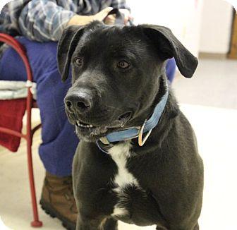 Newfoundland/Labrador Retriever Mix Dog for adoption in Elyria, Ohio - Diesel