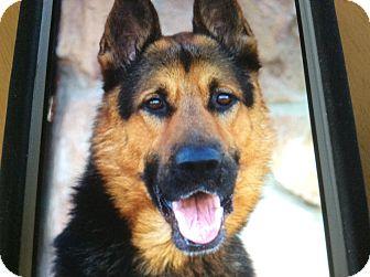 German Shepherd Dog Dog for adoption in Los Angeles, California - FRAISER VON FURTH