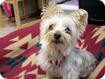 Silky Terrier Dog for adoption in Republic, Washington - Shelly