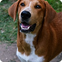 Adopt A Pet :: Bentley - Fort Riley, KS