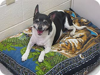 Rat Terrier Mix Dog for adoption in Reed City, Michigan - STAN the lil man or DINO