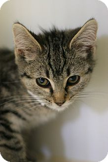 Domestic Shorthair Kitten for adoption in Staunton, Virginia - Babykins