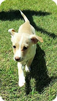 Chihuahua/Terrier (Unknown Type, Small) Mix Puppy for adoption in Wichita Falls, Texas - Paige