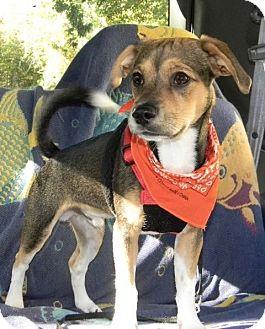 Beagle Mix Dog for adoption in Morganton, North Carolina - Oscar