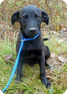 Labrador Retriever/Australian Shepherd Mix Puppy for adoption in Allentown, New Jersey - Courtney