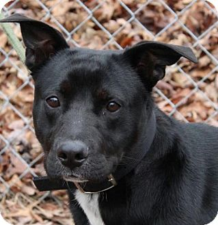 Labrador Retriever Mix Dog for adoption in Allentown, Pennsylvania - Cody